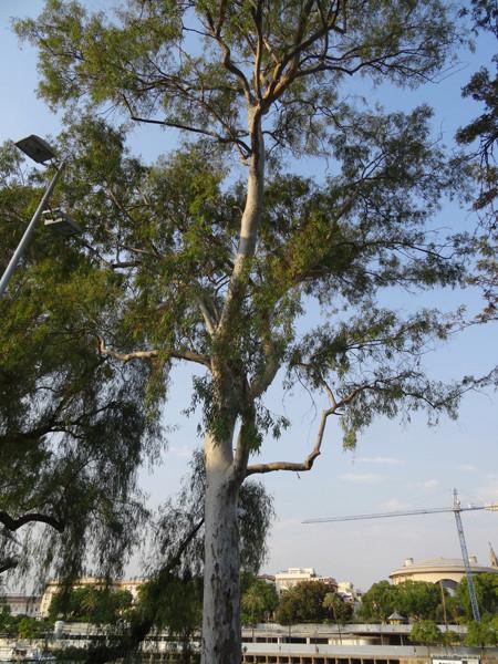 Eucalyptus calmadulensis 010