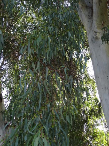 Eucalyptus calmadulensis 110