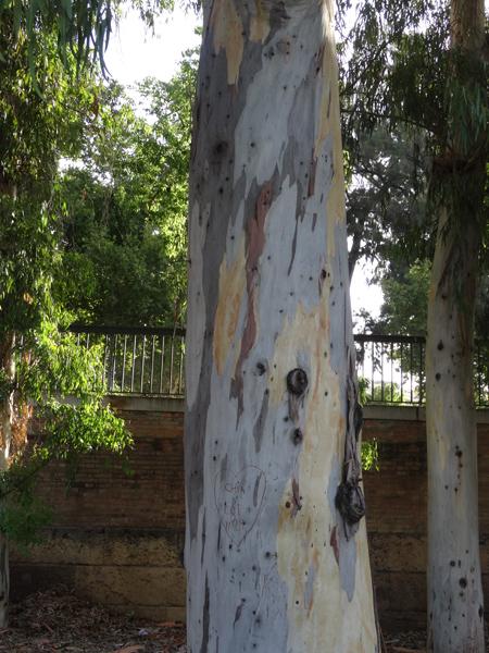 Eucalyptus calmadulensis 310