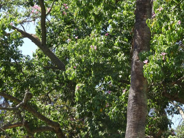 Ceiba speciosa (= Chorisia speciosa) Arbre_10