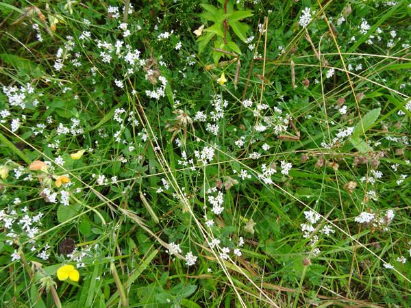 Asperula cynanchica - herbe à l'esquinancie Asperu10