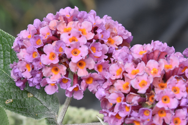 petits bouquets de juillet - Page 3 Buddle10
