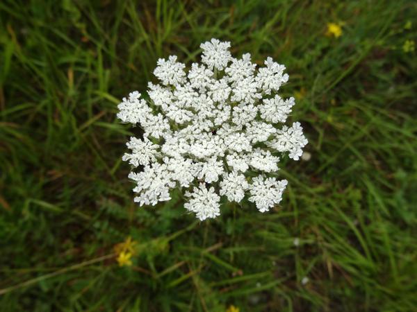 Bunium bulbocastanum - noix de terre Bunium11