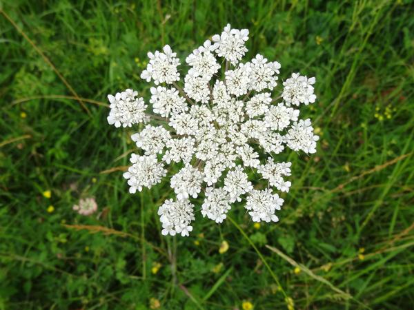Bunium bulbocastanum - noix de terre Bunium12