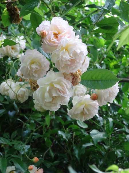 petits bouquets de juillet Ghisla10