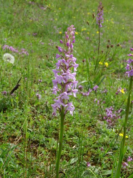 Gymnadenia conopsea - orchis moucheron, orchis moustique Gymnad12