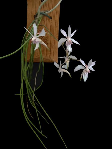 Holcoglossum subutifolium Holcog10