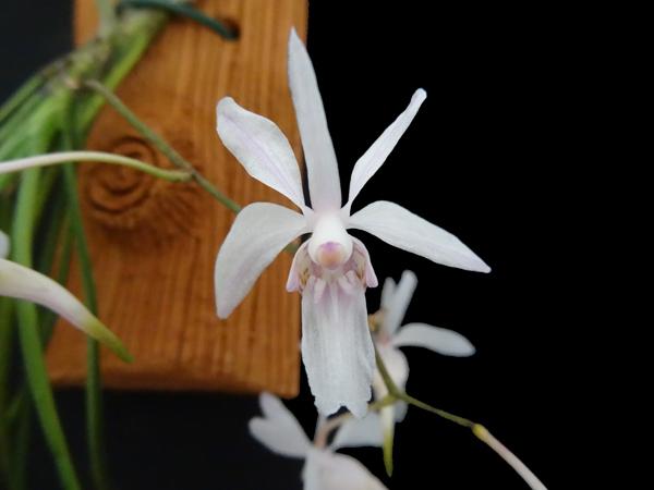 Holcoglossum subutifolium Holcog11