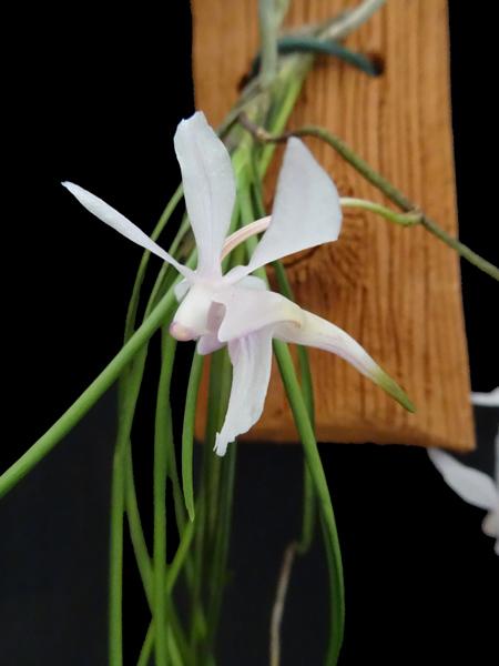 Holcoglossum subutifolium Holcog12