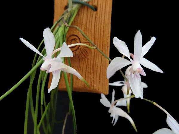 Holcoglossum subutifolium Holcog13