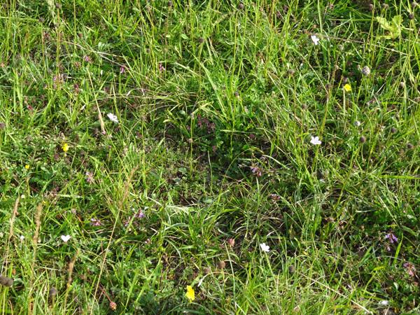 Linum tenuifolium - lin à feuilles étroites  Linum_13