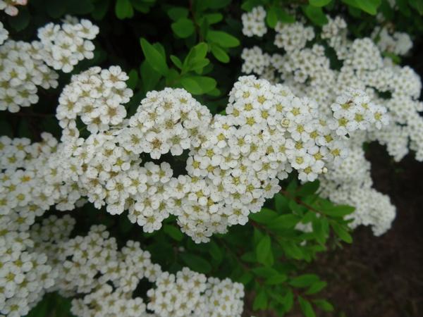 Spiraea nipponica 'Snowmound' Ob_44010