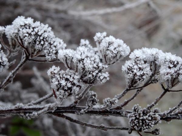 Spiraea nipponica 'Snowmound' Ob_e4a10