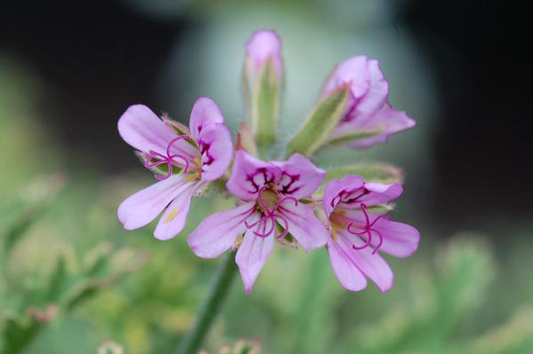Pelargonium graveolens 'Lady Plymouth' Pelarg13