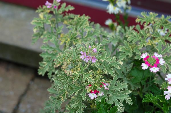 Pelargonium graveolens 'Lady Plymouth' Pelarg14