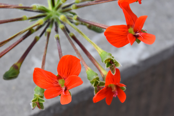 Pelargonium fulgidum Pelarg21