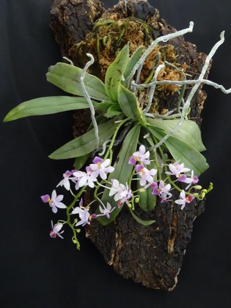 Phalaenopsis - hybrides primaires - Page 3 Phal_p11