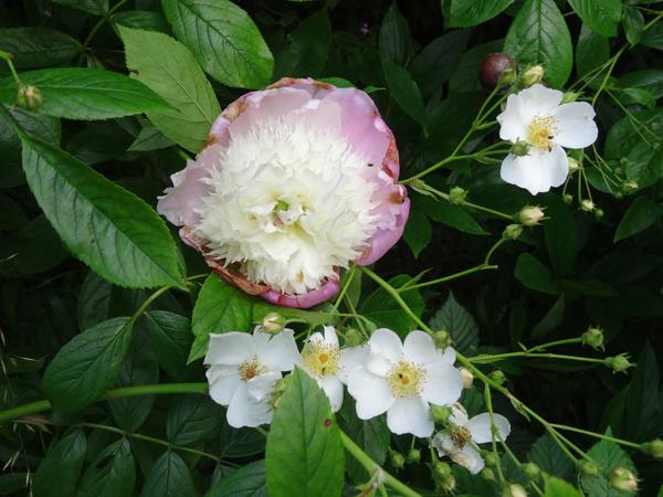 Paeonia - pivoines herbacées - Page 5 Pivoin13