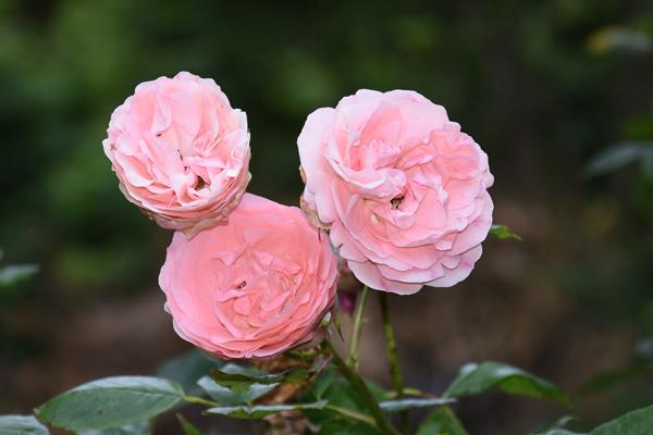 petits bouquets de juillet - Page 2 Rose10