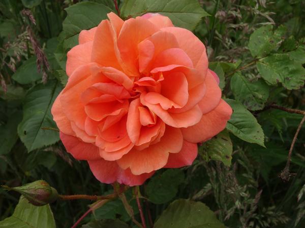 cadeaux du jardin, juin juin - Page 3 Rose_m10