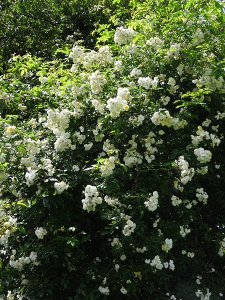 petits bouquets de juillet Rosier11