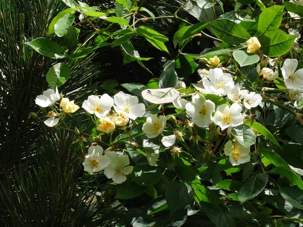 petits bouquets de juillet Rosier12