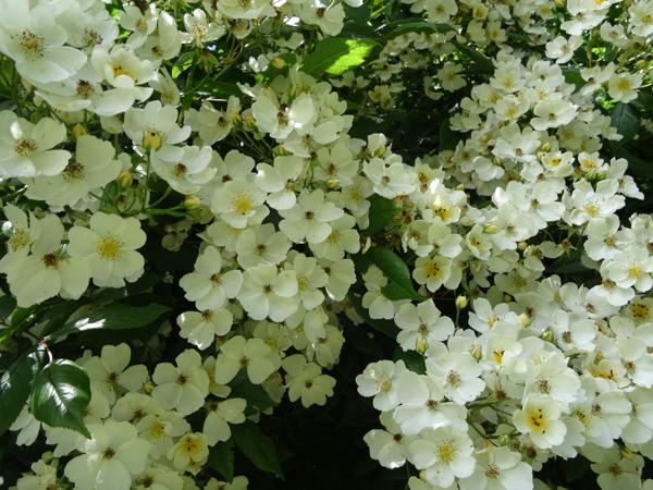 petits bouquets de juillet Semis_10