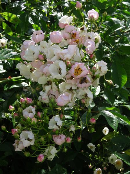 petits bouquets de juillet Semis_11