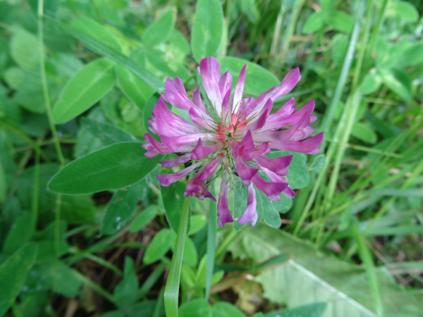 Trifolium medium - trèfle flexueux Trifol11