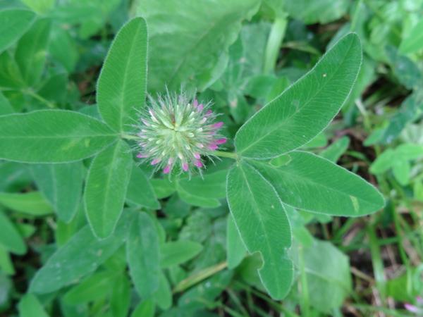 Trifolium medium - trèfle flexueux Trifol12