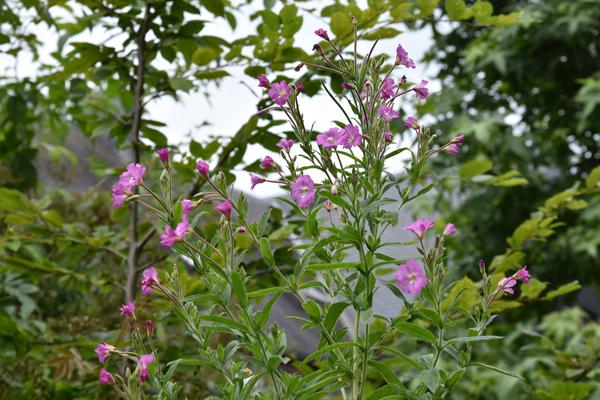 petits bouquets de juillet - Page 3 Ypilob10