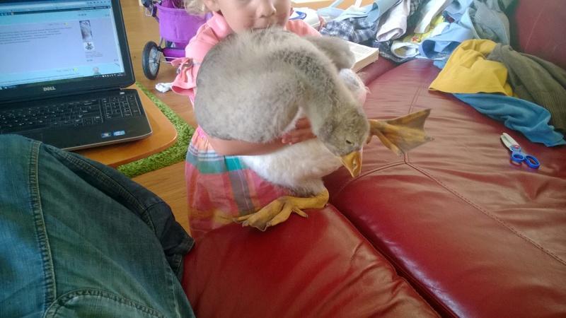 Jeune oie peureuse - que faire? Wp_20115