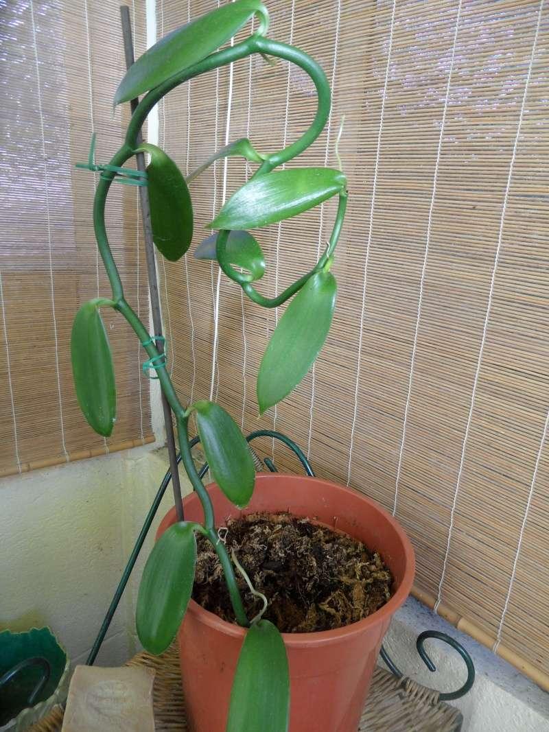 Culture et Entretien de la Vanilla Planifolia - Page 5 00110