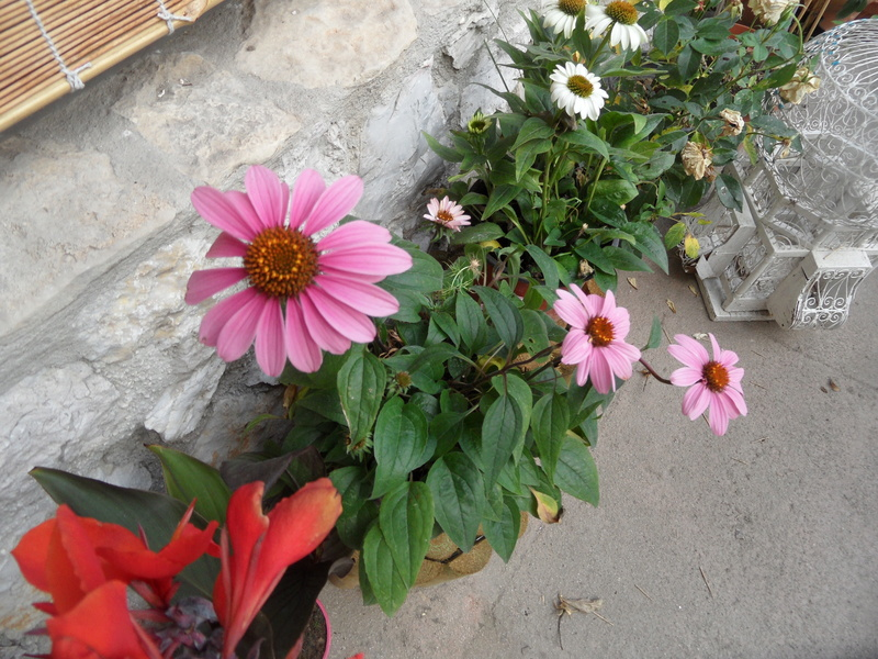 Floraisons du mois de juillet - Page 13 00412