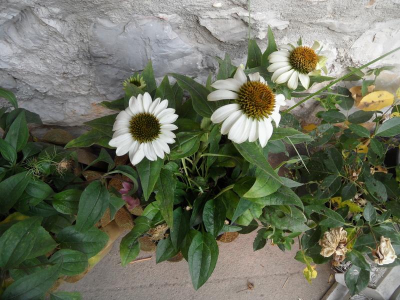 Floraisons du mois de juillet - Page 13 00512