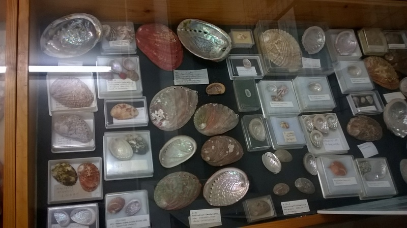 Museo Malacologico Cupra Marittima Wp_20135