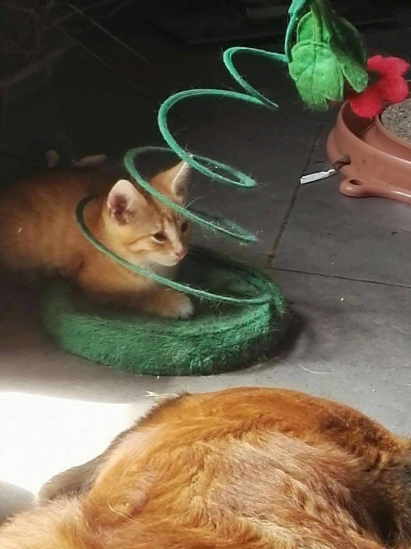 KIRI, adorable chaton mâle de 2 mois roux et blanc 13639810