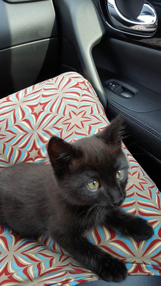 DESIRE, adorable chaton de deux mois complètement yang Dysiry10