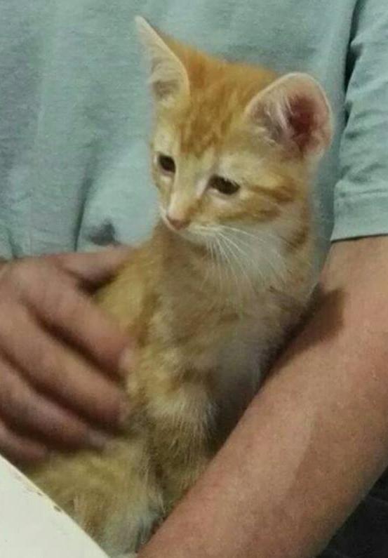 KIRI, adorable chaton mâle de 2 mois roux et blanc Kiri10