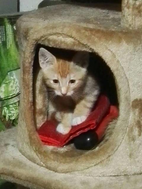 KIRI, adorable chaton mâle de 2 mois roux et blanc Kiri110