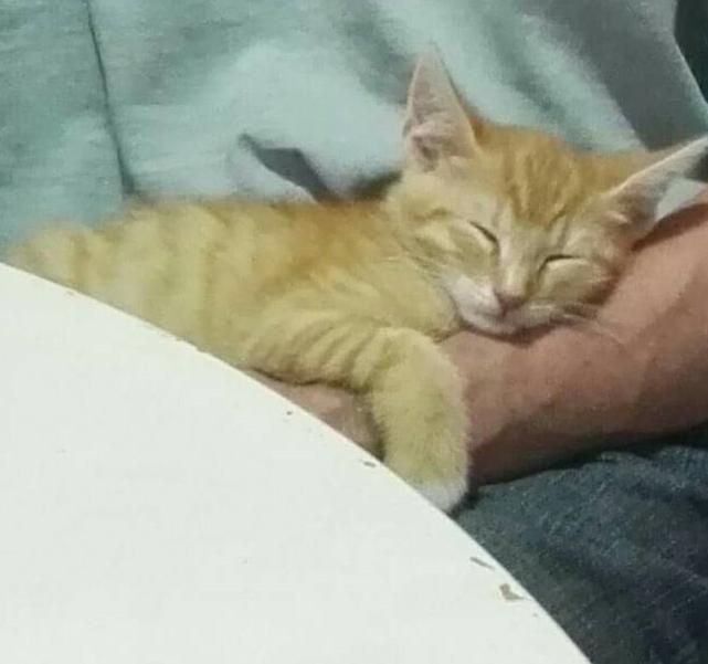 KIRI, adorable chaton mâle de 2 mois roux et blanc Kiri210