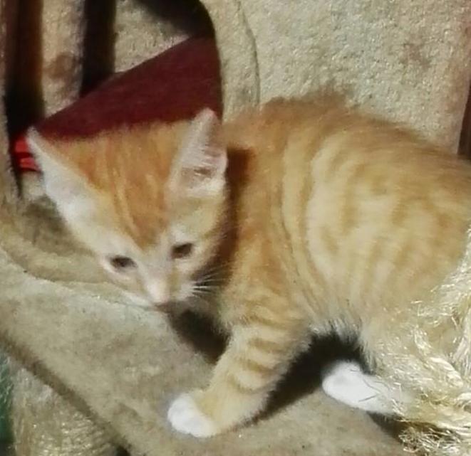 KIRI, adorable chaton mâle de 2 mois roux et blanc Kiri510
