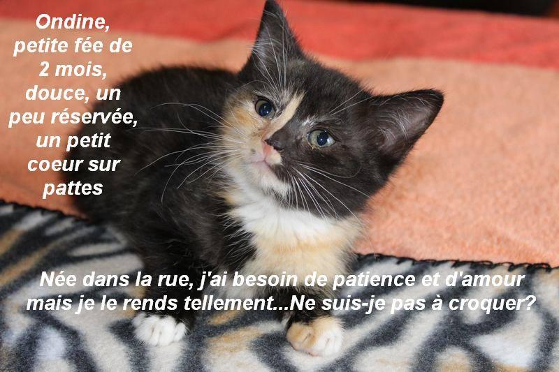 ONDINE, adorable chatonne écaille de tortue de 2 mois Ondine12