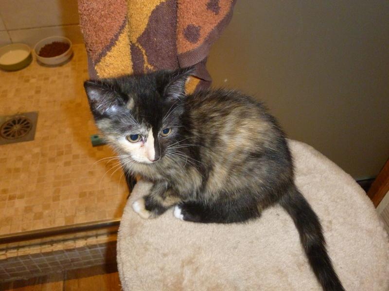 ONDINE, adorable chatonne écaille de tortue de 2 mois P1030222