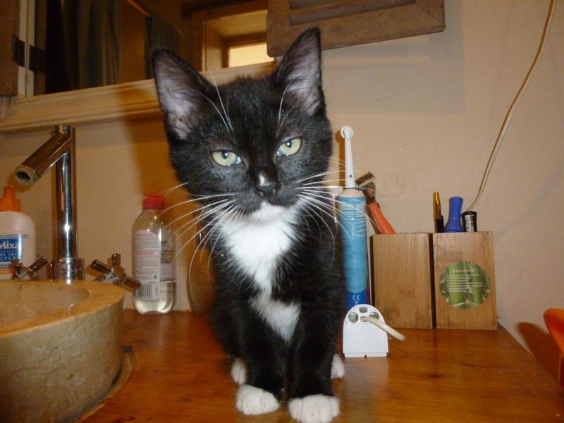 SOQUETTE, adorable chatonne de deux mois noire avec chaussons blancs P1030223