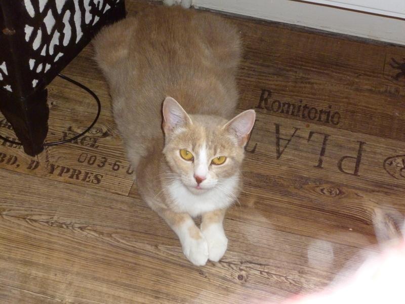 """MUSCADE, très belle chatte avec robe """"Isabelle"""" de 7 mois P1030235"""