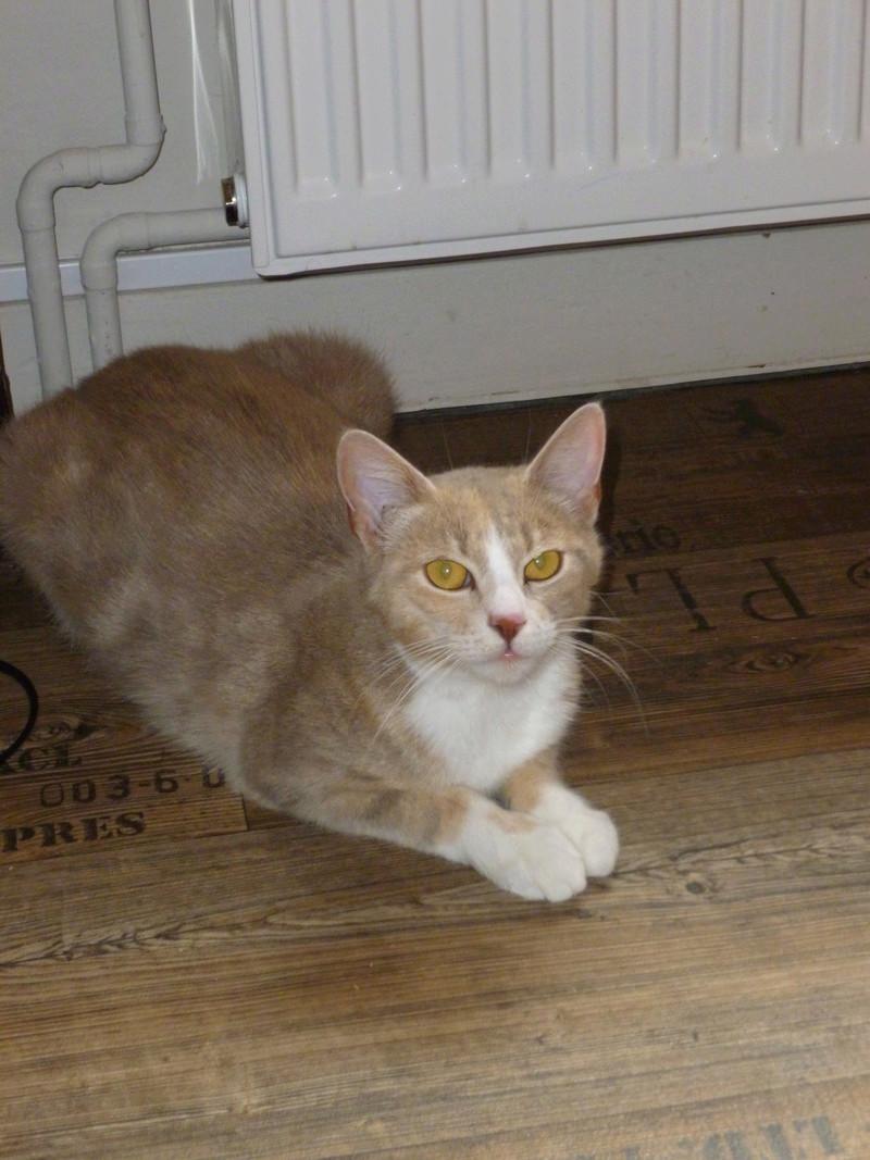 """MUSCADE, très belle chatte avec robe """"Isabelle"""" de 7 mois P1030236"""