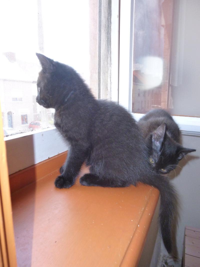 DESIRE, adorable chaton de deux mois complètement yang P1030330