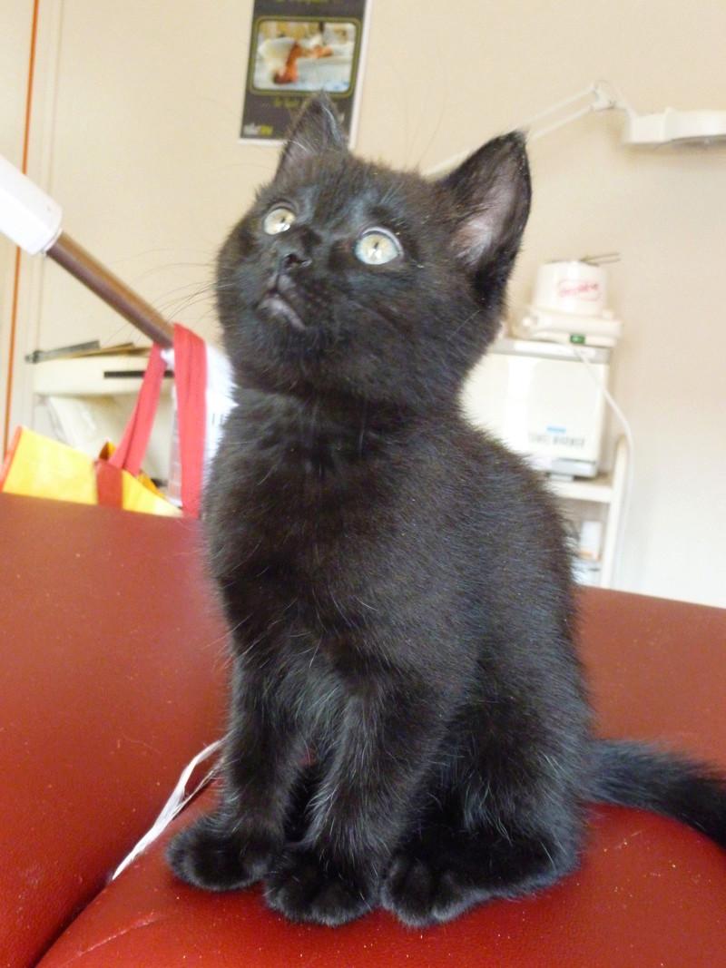 DESIRE, adorable chaton de deux mois complètement yang P1030332