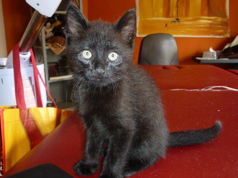 DESIRE, adorable chaton de deux mois complètement yang P1030334